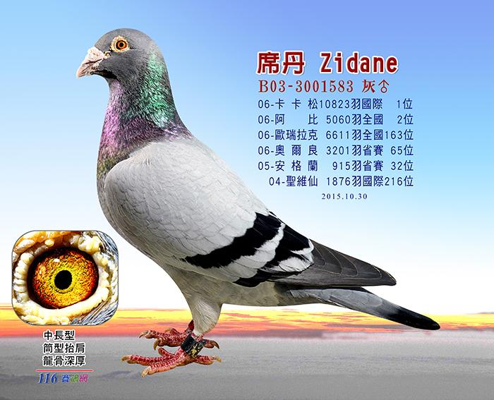 种鸽的挑选 ─ 116赛鸽网